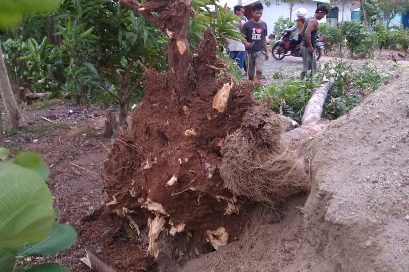 Diterpa Badai Angin, Pohon Penghijauan di Jalan Irigasi Tumbang Tutup Badan Jalan 01
